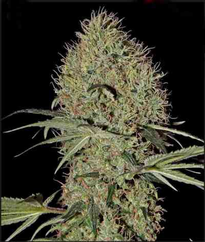 Super Bud Automatic > Green House Seed Company