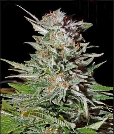 Super Lemon Haze Automatic