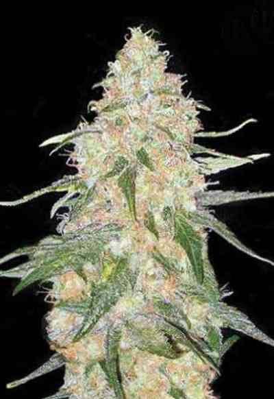 Super Skunk > Bulk Seed Bank