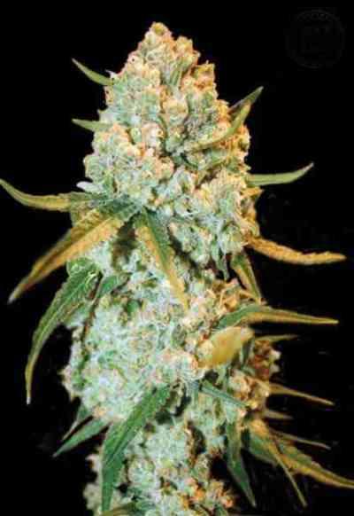 Special Crystal Haze > Bulk Seed Bank