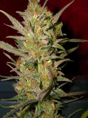 Sweet Haze Samen > DNA Genetics