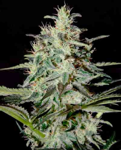 White Lemon semilla > Strain Hunters Seed Bank