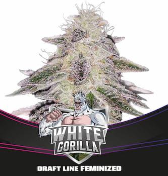 White Gorilla > BSF Seeds