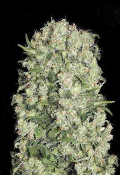 White Prussian > Bulk Seed Bank