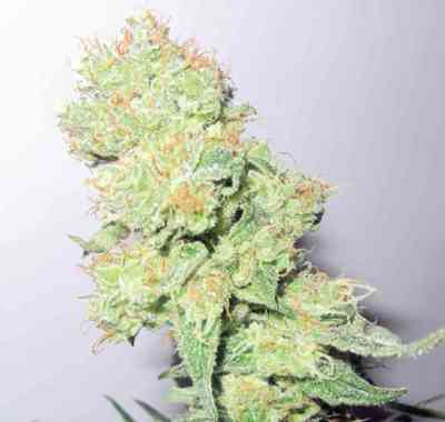 Y Griega CBD > Medical Seeds Co.