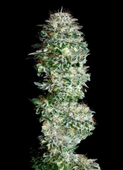 Absolute Herer Seed > Absolute Cannabis Seeds