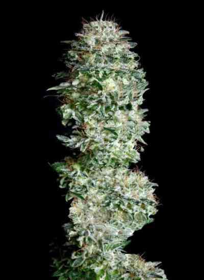 Absolute Herer Samen > Absolute Cannabis Seeds
