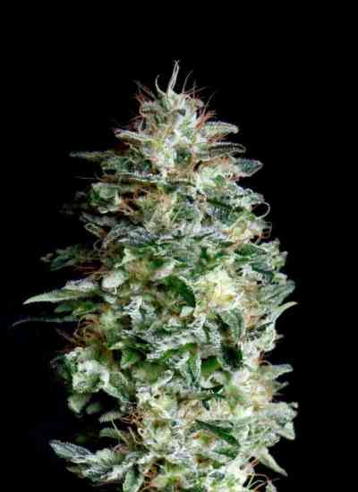 Absolute Herer > Absolute Cannabis Seeds