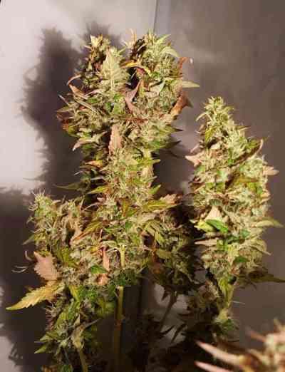 Acid Samen > Paradise Seeds