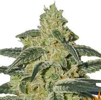 Afghan Hash Plant > Barneys Farm