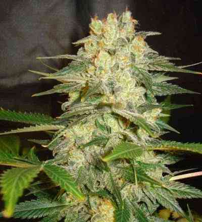 Afgan Kush Ryder > World of Seeds