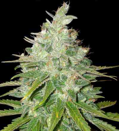 Afgan Kush x Black Domina > World of Seeds