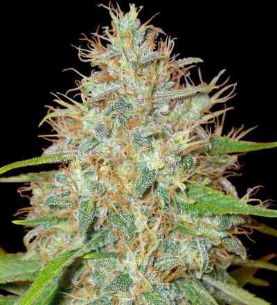 Afgan Kush x Skunk > World of Seeds