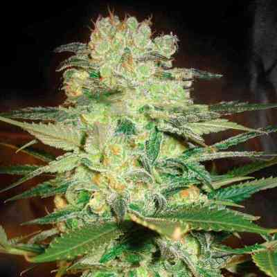 Afgan Kush x White Widow semence > World of Seeds