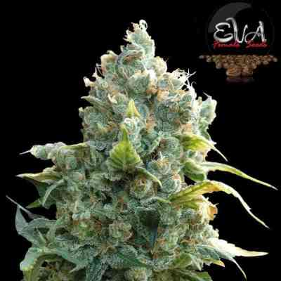 African Free > Eva Female Seeds