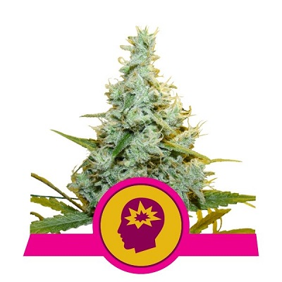 AMG - Amnesia Mac Ganja > Royal Queen Seeds