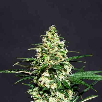 Amnesi-K > Kannabia Seeds