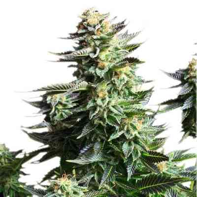 Amnesia Haze semence > Royal Queen Seeds