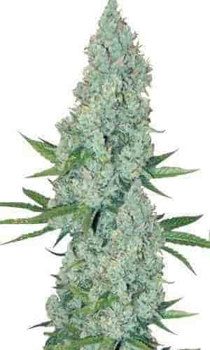 Amnesia Lemon graines > Linda Seeds