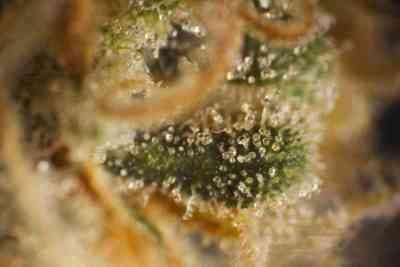 Amnesika 2.0 > Philosopher Seeds
