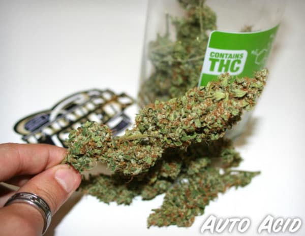 Auto Acid > Paradise Seeds