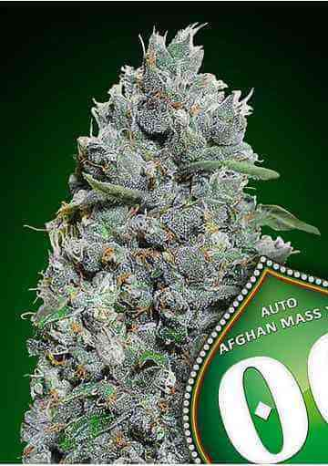 Auto Afghan Mass XXL Seed > 00 Seeds Bank