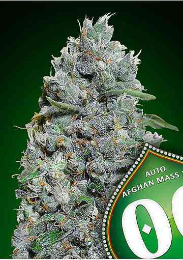 Auto Afghan Mass XXL Samen > 00 Seeds Bank