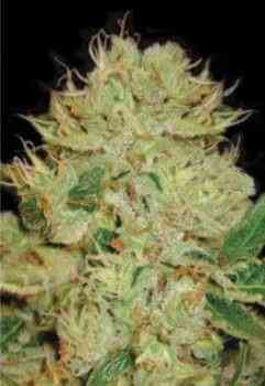Auto Big Bud > Bulk Seed Bank