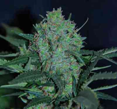 Auto Black JH Samen > Original Sensible Seeds