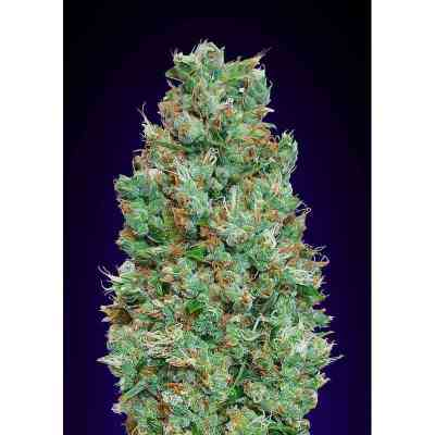 Auto Blueberry Samen > 00 Seeds Bank