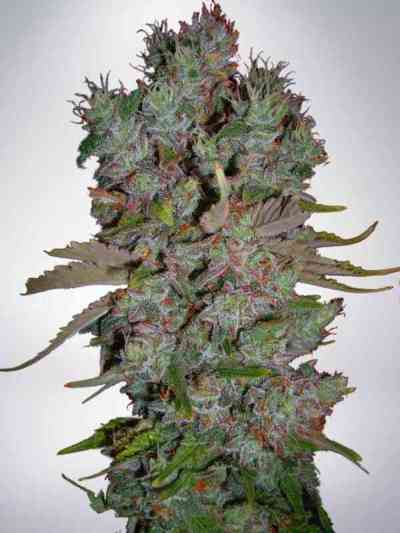 Auto Blueberry Domina > Ministry Of Cannabis