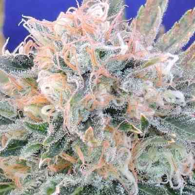 Auto Blueberry Ghost OG Seed > Original Sensible Seeds