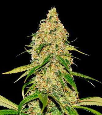 Auto CBD White Widow > Bulk Seed Bank