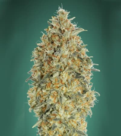 Auto Gorilla Blue > Advanced Seeds