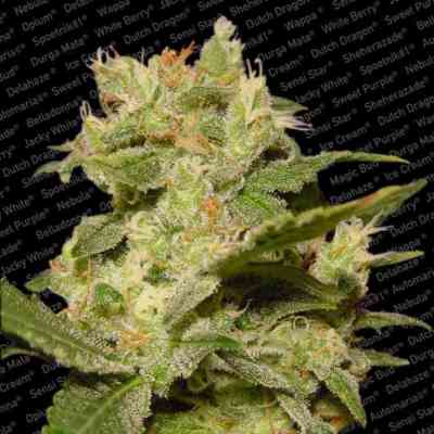 Auto Jack > Paradise Seeds