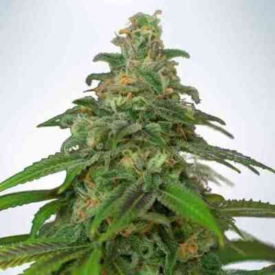 Auto Mandarin Haze Seed > Ministry of Cannabis