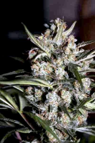 Auto Whiteberry > Paradise Seeds