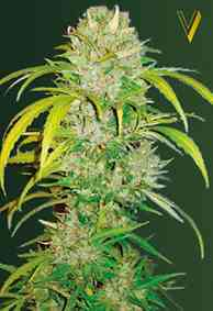 Auto Big Angel semilla > Victory Seeds