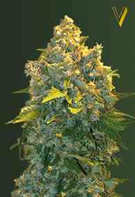 Auto Chronic Monster XXL Seed > Victory Seeds