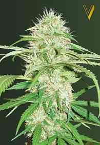 Auto Super Mazar Seed > Victory Seeds