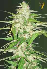 Auto Ultra Power Plant > Victory Seeds