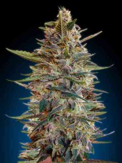 Auto Blue Diesel Seed > Advanced Seeds