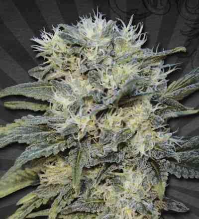 Auto Chemdog > Auto Seeds