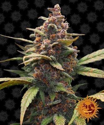 Ayahuasca Purple > Barneys Farm