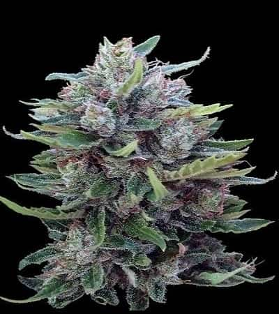 Bangi Haze x Ethiopian Standard (Regular) > ACE Seeds