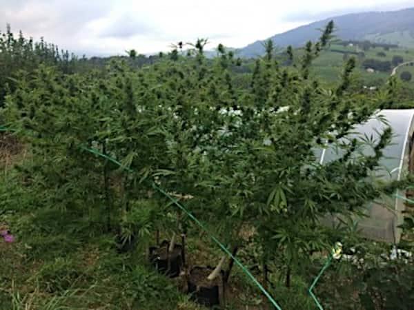 Bangi Haze x Ethiopian Standard (Regular) > ACE Seeds