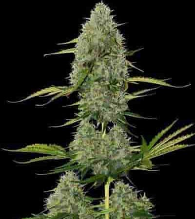 BCN Critical XXL Autoflower Samen > Seed Stockers
