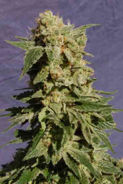 BCN Diesel > Kannabia Seeds
