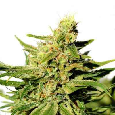 BCN Diesel CBD > Kannabia Seeds