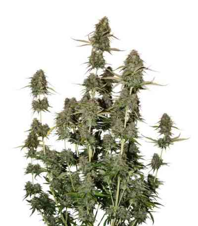 BCN Power Plant Autoflower > Seed Stockers
